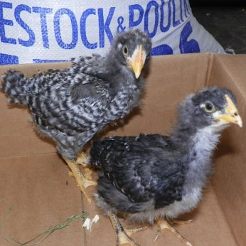 Rooster (left) hen (right)