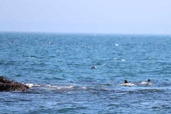Bobbing seals keeping their eyes on us