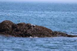A forlorn seal wishing we would move on