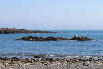 20+ seals sunning on the rocks