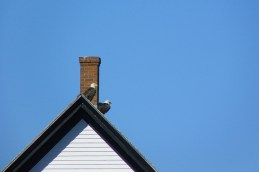 bald eagles on the rooftop at Petit Manan Light