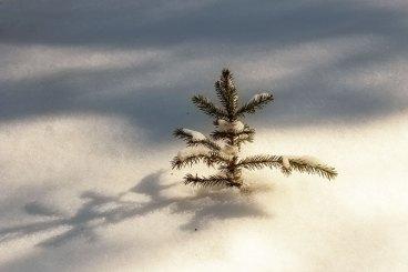 solitary sapling