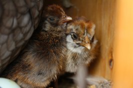 baby bantam chicks