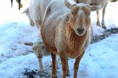 baby and mama lamb