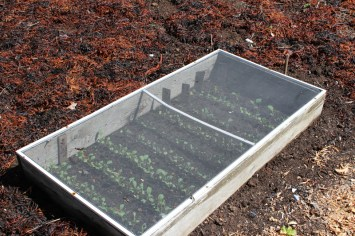 Seedlings in a screen topped cold frame.