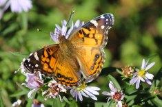 Lingering butterfly