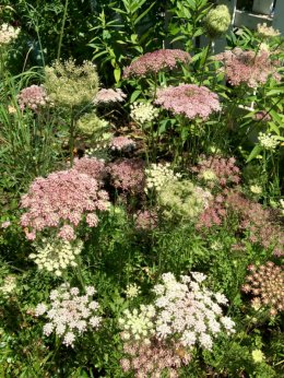 My favorite flower of the day - wild carrot or Queen Anne's lace