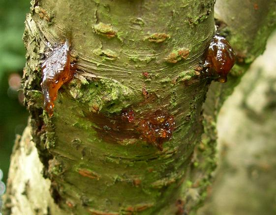 Treatment Bacterial Cherry Canker