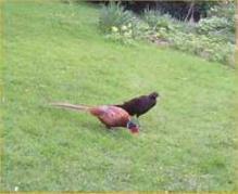 PheasantBlack