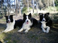 Border Collies 3