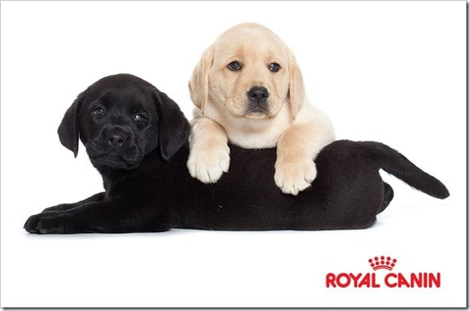 LabPuppies_Royal Canin_