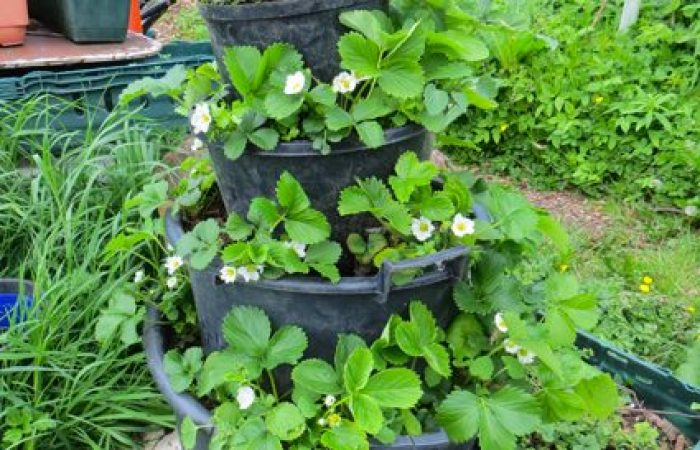 Strawberry tower at Selsley Community Growing Scheme