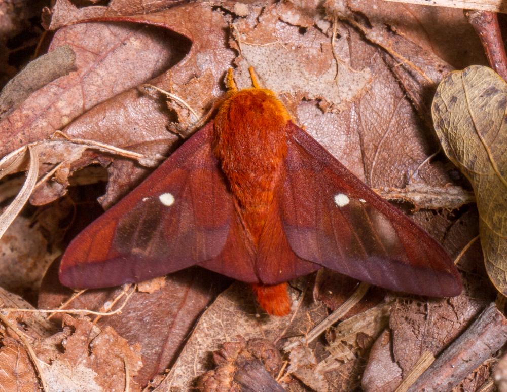 Moths Of North Carolina