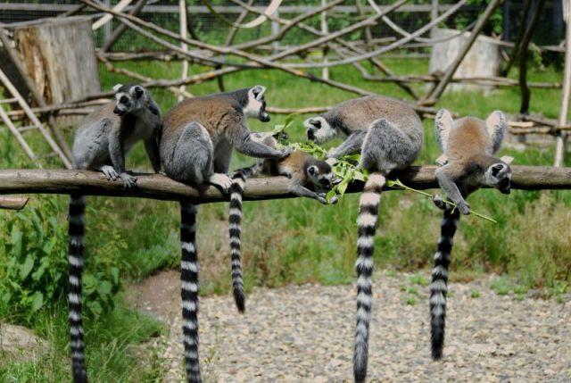 ring tailed lemur habitat
