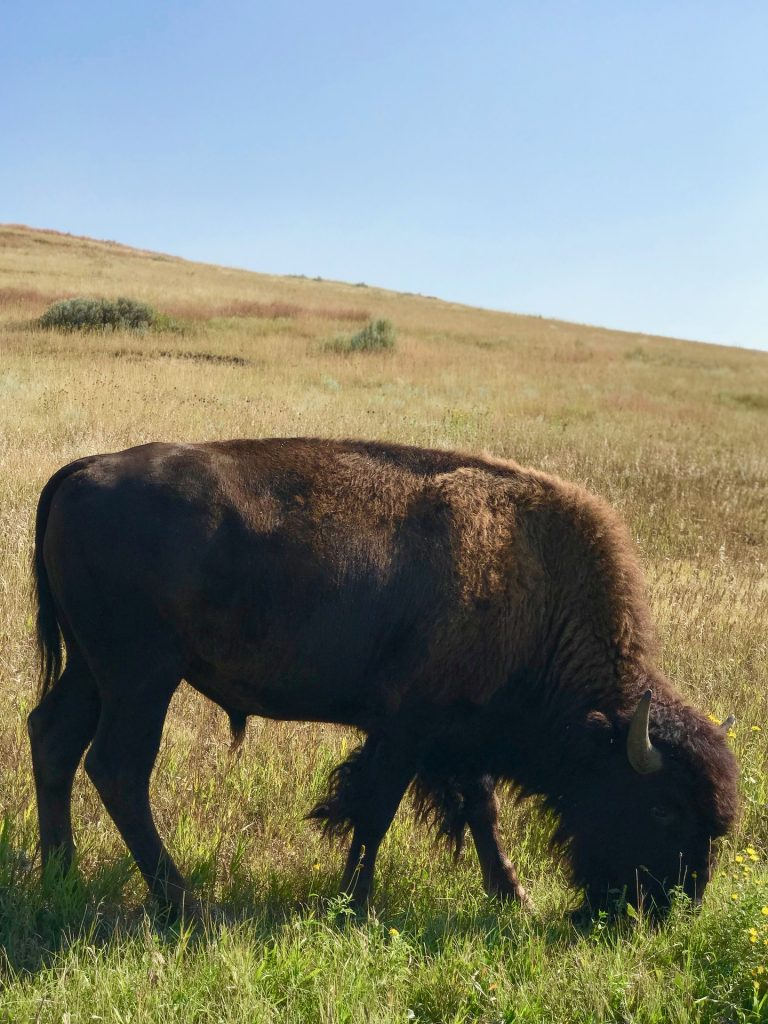 north dakota national parks bison