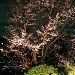 薄墨櫻の夜桜ライトアップ!?