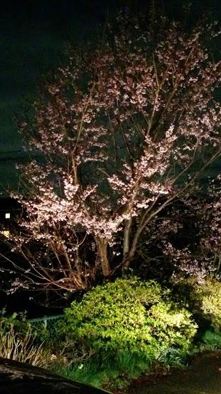 薄墨櫻のライトアップ