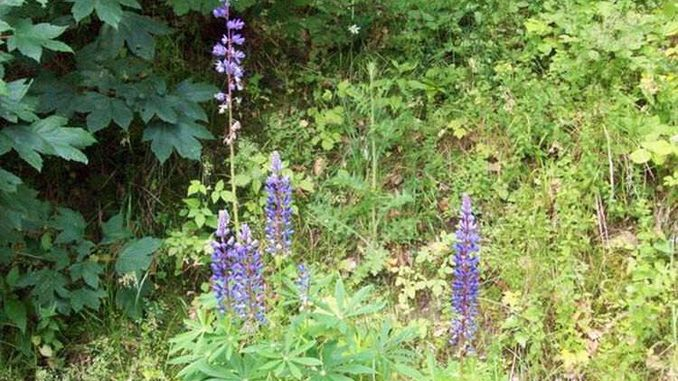 678px_lupin
