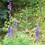 Siebengebirge naturaleza, flores, lupin