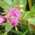 Siebengebirge nature, fleurs, balsamine himalaya