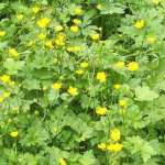 Siebengebirge nature, fleurs, bouton d'or