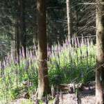 Siebengebirge nature, fleurs, digitales