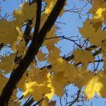 Siebengebirge nature, arbres, erable plane