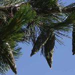 Siebengebirge nature, arbres, pin