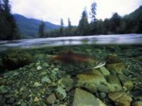 Fish-Swiming