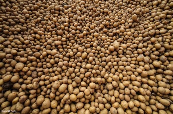 Recoltare Lay's - Cartofii recoltați