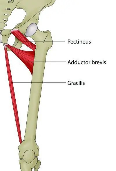 Adductor Anatomy of Pubic Rami Diagram - El Paso Chiropractor