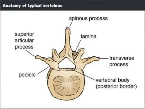 Anatomía de las vértebras Típico - El Paso Quiropráctico