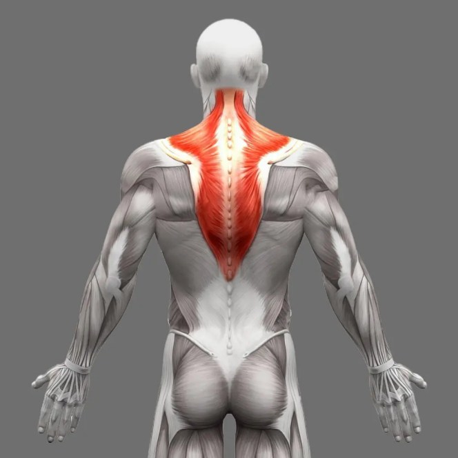 trapezius anatomy muscles isolated on white d illustration