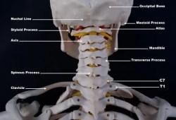 l'anatomia del colpo di frusta occiptal_atlast_axis_craniovertebral