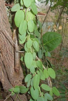 Metabolic Gymnema sylvestre hierba medicinal