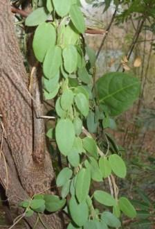 metabolic Gymnema sylvestre medicinal herb