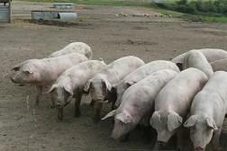 gmos pigs