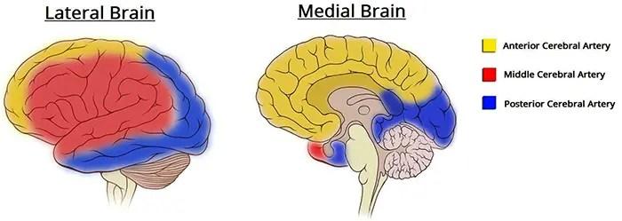 Suministro de sangre al círculo cerebral de willis