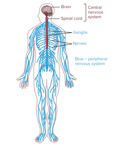 Nervous System Diagram | El Paso, TX Chiropractor