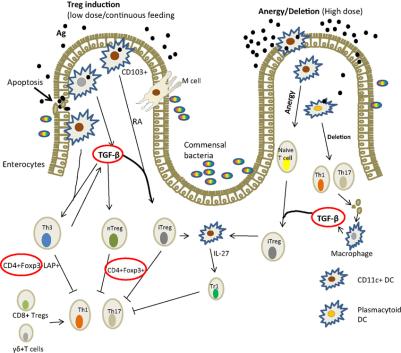 Mecanismo de inducción de tolerancia oral en el intestino de los mamíferos adaptado de Ref-36
