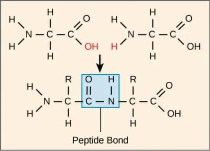 Formación de enlace peptídico