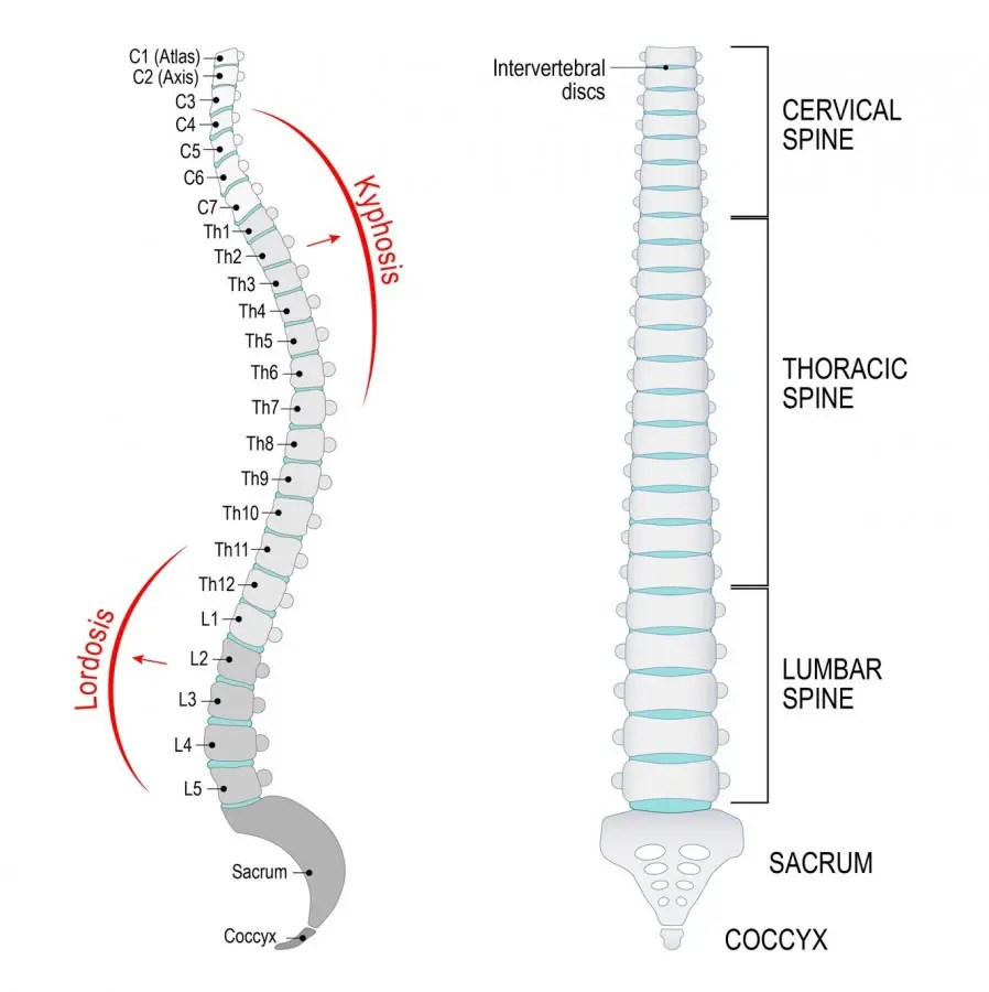11860 Vista Del Sol, Ste. 128 Sacrum and Coccyx Vertebrae Possible Cause of Low Back Pain