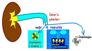 İdrar'ın Biyokimyasal Analizi : ÜROBİLİNOJEN, normalde hep idrarda.
