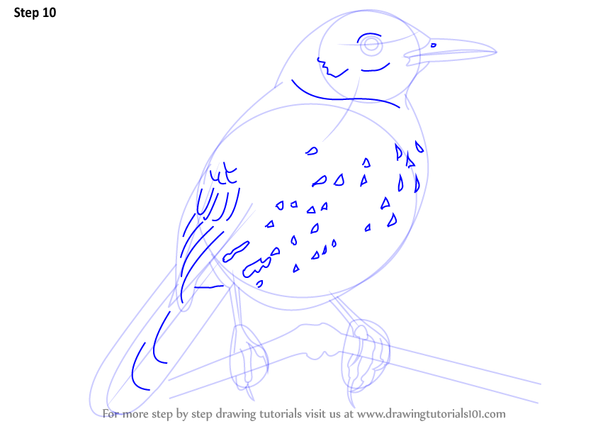 Step By Step How To Draw A Brown Thrasher
