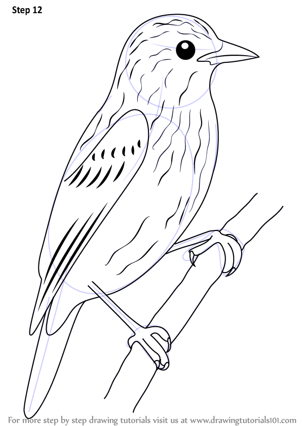 Learn How To Draw Xenops Birds Step By Step Drawing