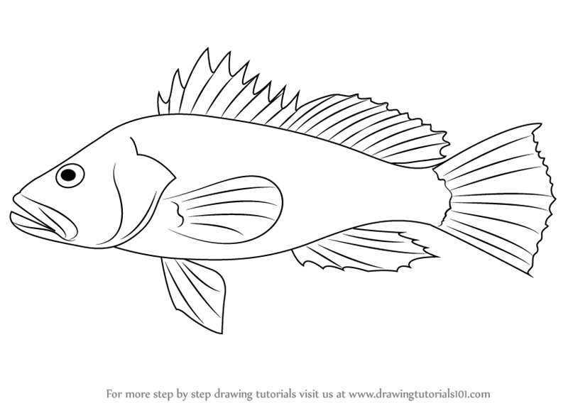 Learn How To Draw A Black Sea Bass Fishes Step By Step Drawing Tutorials