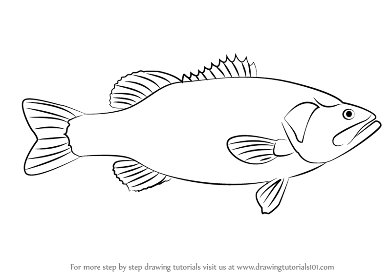 Learn How To Draw A Largemouth Bass Fishes Step By Step Drawing Tutorials
