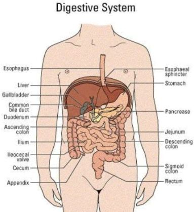 digestive_big.jpg