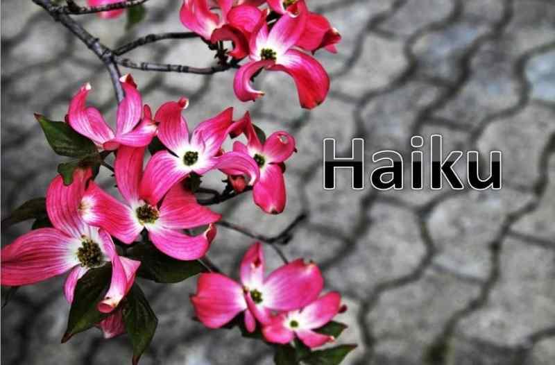 Blossoms, Haiku