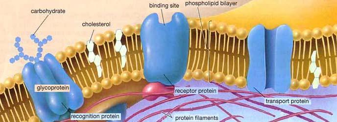 https://i1.wp.com/www.dreamingintechnicolor.com/IdeaLab/membrane_proteins.jpg